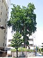 Oicho in Utsunomiya, May 2020-1.jpg