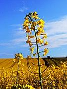 Oilseed rape flowers, near Shipley Bottom, Wiltshire (geograph 2372314).jpg