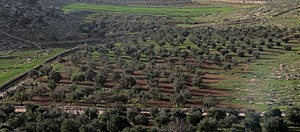 Olive production in Palestine - Image: Olive fields in as Samu IMG 3361