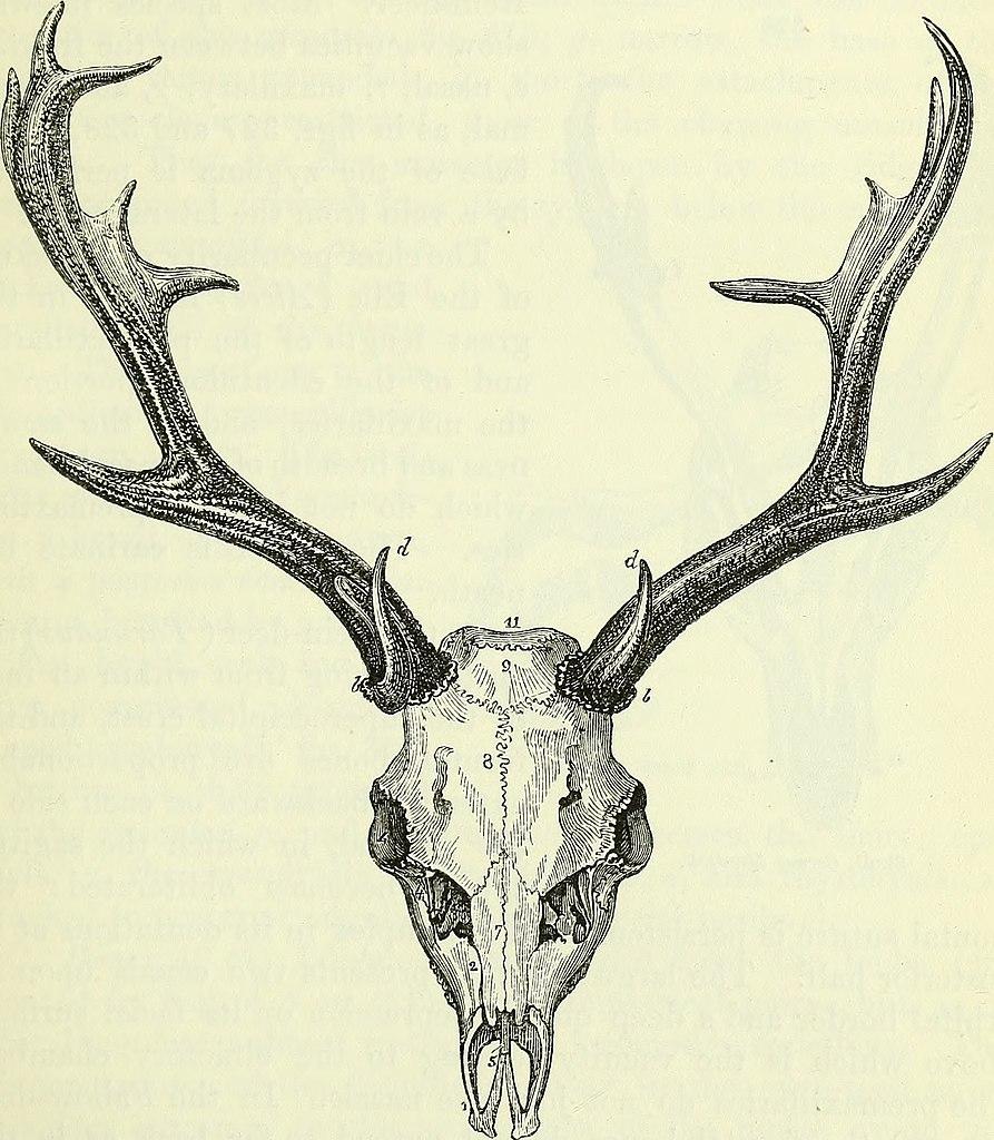 File:On the anatomy of vertebrates (electronic resource) (1866 ...