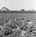 Ontginning, zaaien en oogsten gewassen, beregening, nachtvorst, schade, nop, Bestanddeelnr 160-0222.jpg