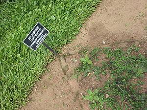 Oplismenus compositus - Image: Oplismenus compositus at Peradeniya Royal Botanical Garden