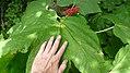 Oplopanax horridus leaf size comparison- with fruit.jpg