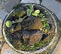 Opuntia compressa.jpg
