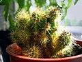 Opuntia small.jpg