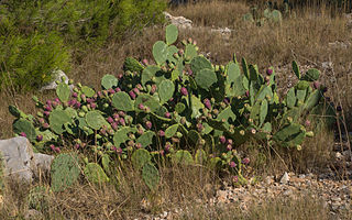 <i>Opuntia stricta</i> species of plant