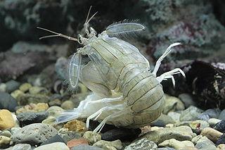 <i>Oratosquilla oratoria</i> species of crustacean