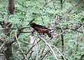 Orchard Oriole 2 (5659640632).jpg