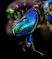 Orchid bee green butt, m, leg, guyana 2014-06-17-18.41.16 ZS PMax (14450510385).jpg