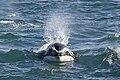 Orcinus orca (8585074041).jpg