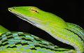 Oriental Vine Snake (Ahaetulla prasina) (8754452070).jpg