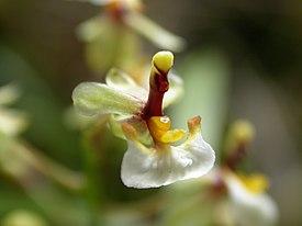 Ornithophorum radicans 275px-Ornitophora_radicans