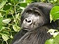 Oruzogo Mountain Gorilla (6734900777).jpg