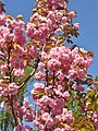 Osdorfer Strasse - Kirschbluete (Cherry Blossom) - geo.hlipp.de - 36259.jpg
