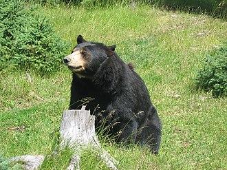 Sky Lakes Wilderness - American black bear