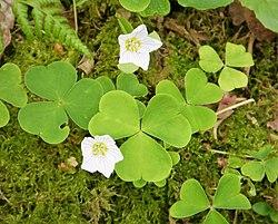 Oxalis acetosella - Wood-sorrel (29025109957).jpg