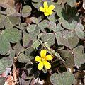 Oxalis corniculata (Gehörnter Sauerklee) oxalidaceae.jpg