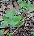 Oxalis latifolia 03.JPG
