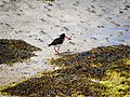 Oyster catcher - geograph.org.uk - 854313.jpg