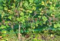 PG-owocujący krzew.jpg