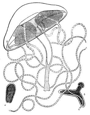 Liriope tetraphylla