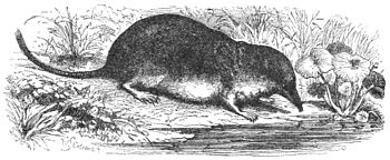 PSM V36 D685 Water shrew.jpg