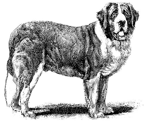 PSM V40 D255 The rough coated st bernard champion sir bedivere.jpg