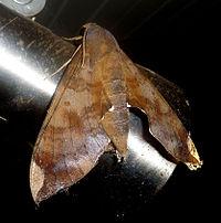 Pachylia ficus, Sphingidae..jpg