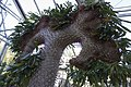 Pachypodium lamerei cristata.jpg