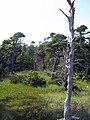 Pacific Rim National Park - Bog Trail (3671508208).jpg