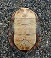 """Painted Turtle's Plastron """"belly shell"""".jpg"""
