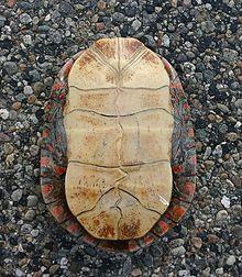 shell englisch