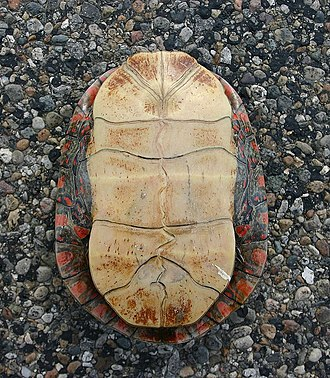 Turtle shell - Plastral view of Chrysemys picta marginata