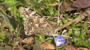 File:Painted lady butterfly (Vanessa cardui) in February.webm