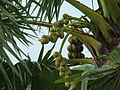 Palm Tree Bangladesh (3).JPG