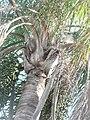 Palmeras en Trenque Lauquen (plantas 05) foto 03 planta A.JPG