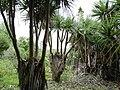 Pandanus heterocarpus - Grande Montagne NR 2.jpg