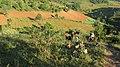 Pangetkon, Shan Hills, Myanmar, Harvesting in Shan Hills near Kalaw, Rural life.jpg
