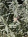 Papallona sobre Lavandula x allardi al jardí botànic vell P1250823.jpg