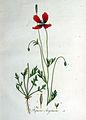 Papaver argemone — Flora Batava — Volume v1.jpg