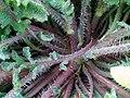 Papaver rhoeas LeavesStem 2009-4-28 DehesaBoyalPuertollano.jpg