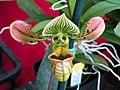 Paphiopedalum venustum Orchid, Maui Hawaii - panoramio.jpg