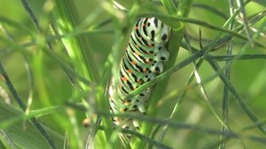 File:Papilio machaon caterpillar - 2012-10-17.webm