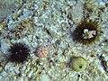 Paracentrotus lividus & Arbacia lixula.jpg