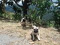 Parador La Esmeralda, Rosas, Cauca (bulldogs).JPG