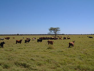Economy of Paraguay - Cattle on cleared land in the Chaco