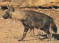 Brown Hyena Parahyaena brunnea.