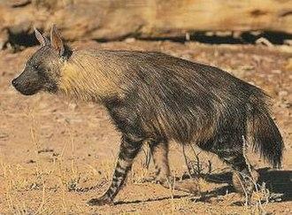 Hyaena - Image: Parahyaena brunnea 3