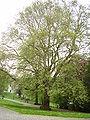 Parc Léopold-Bruxelles ,platane d'OrientP5070020.JPG