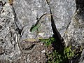 Pareja de lagartijas serranas (Iberolacerta monticola). Mirador del Rey. Cangas de Onís (Asturias). Parque Nacional Picos de Europa. ES1200001. ROSUROB.JPG
